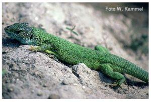 Smaragdeidechse Lacerta viridis
